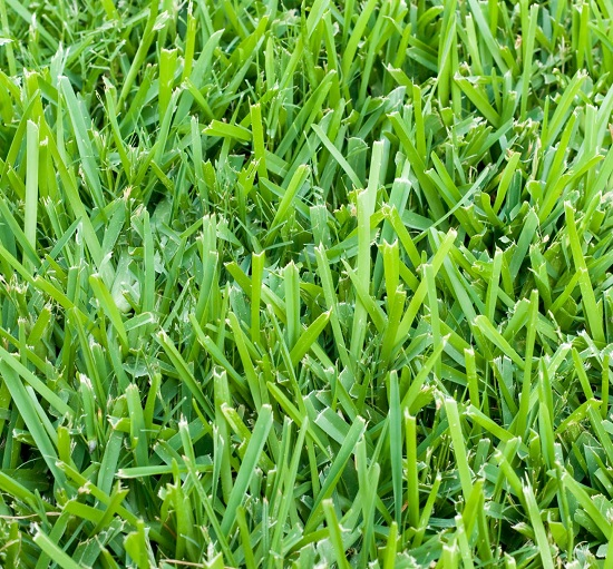 Closeup of St. Augustine grass